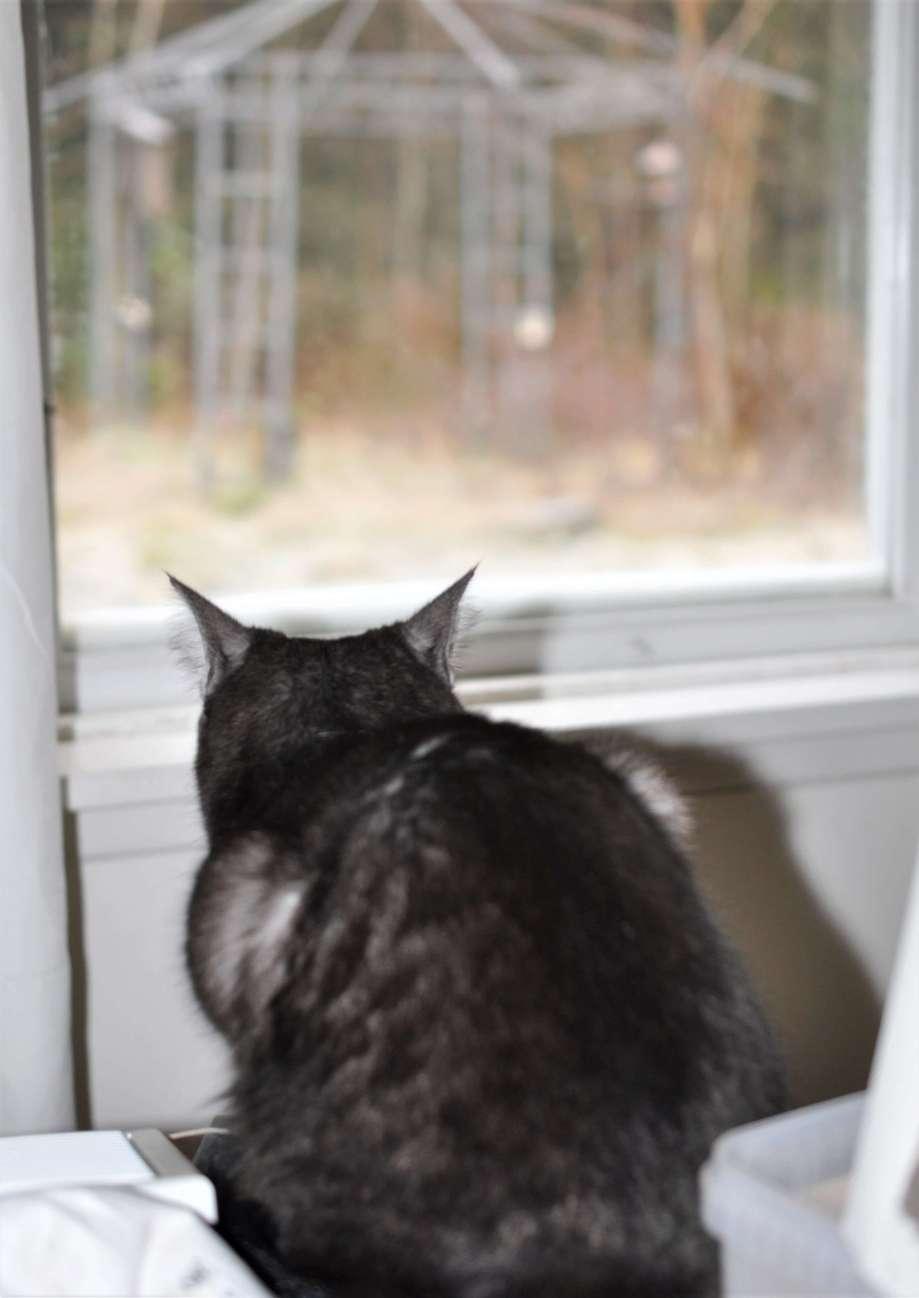 katten sitter på bordet och tittar ut på småfåglarna som besöker fågelmatarna
