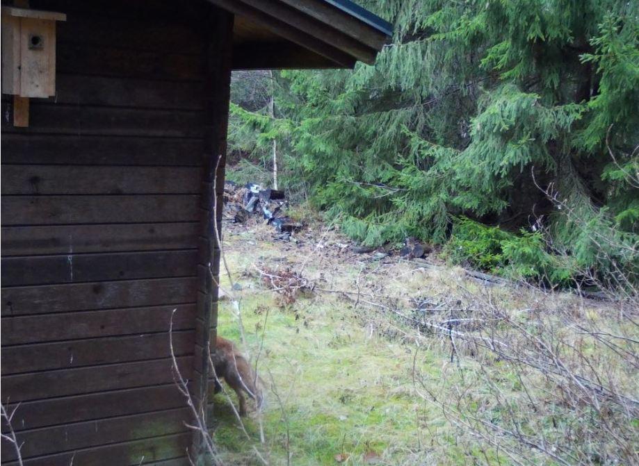baksidan av en knuttimrad vägg. till höger syns bakdelen av en rödräv som går längs väggen.