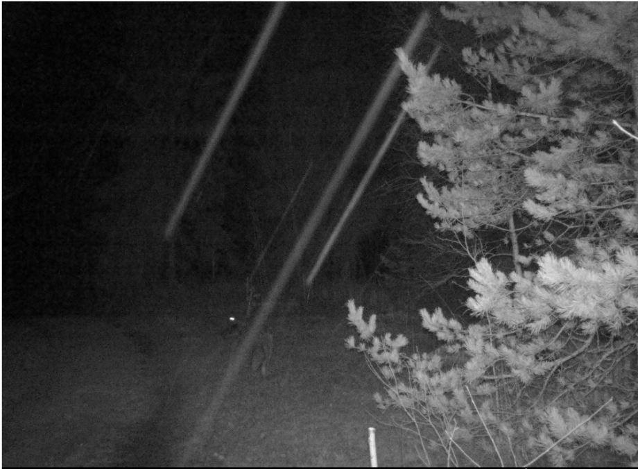 en räv går bort från kameran. i mörkret syns bara skuggan av svansen och bakdelen
