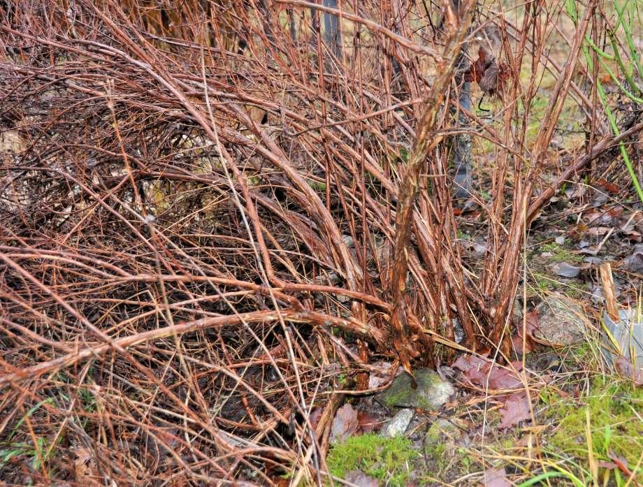 vinterkala grenar på en snårig, och risig ölandstok