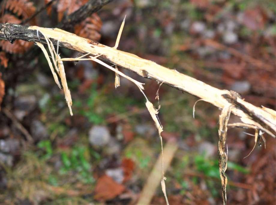 gren med avfläkt bark