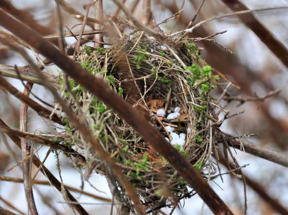 litet fågelbo av grässtrån och mossa bland torra hallonskott