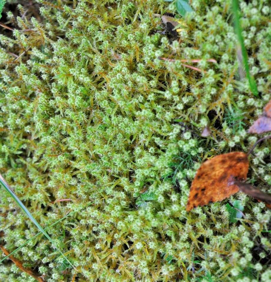 ljusgrön gräshakmossa och ett par bruna björklöv