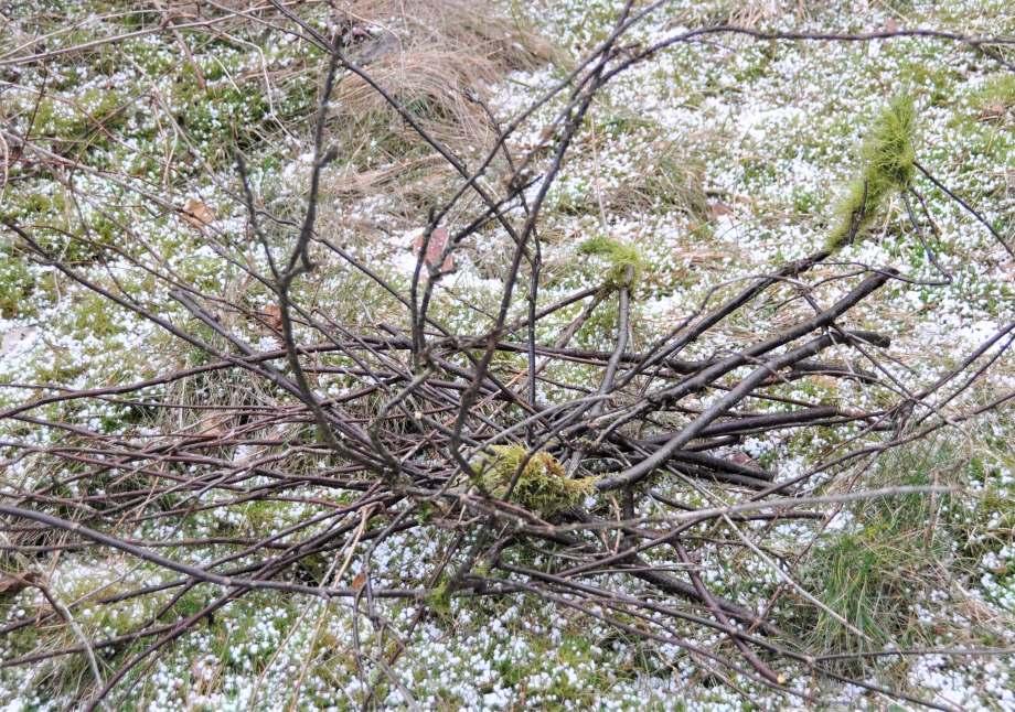 liten hög av avklippta vinbärskvistar på gräsmattan