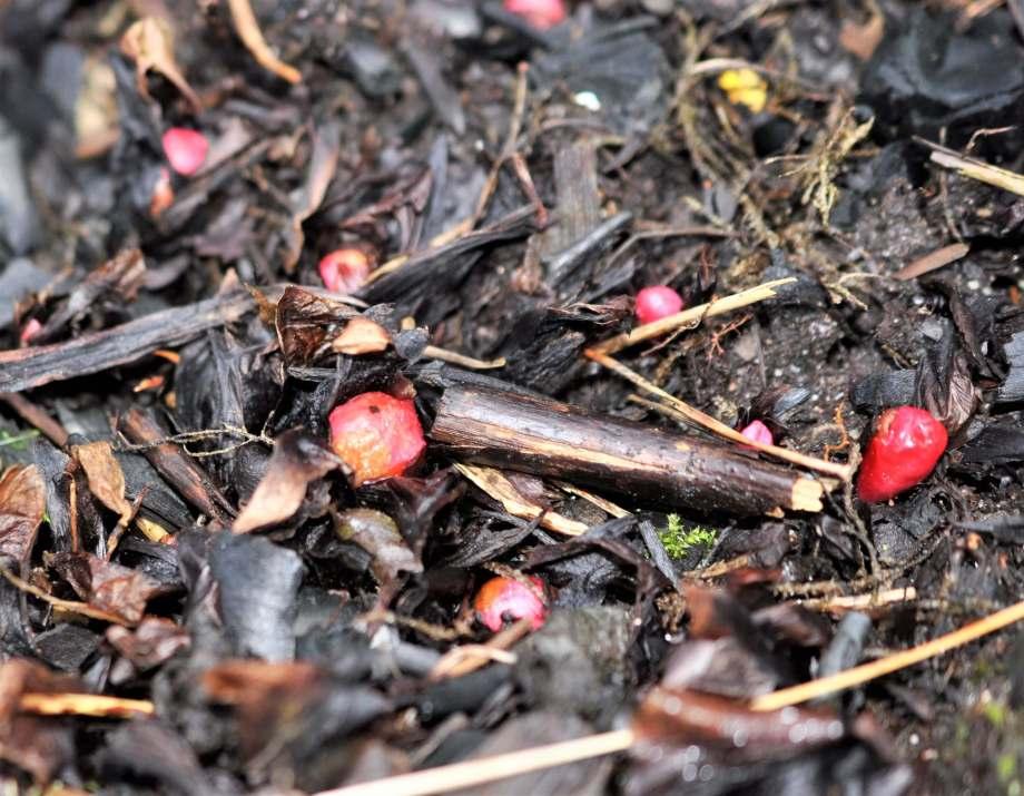 röda topparna på små rabarberknoppar i landet