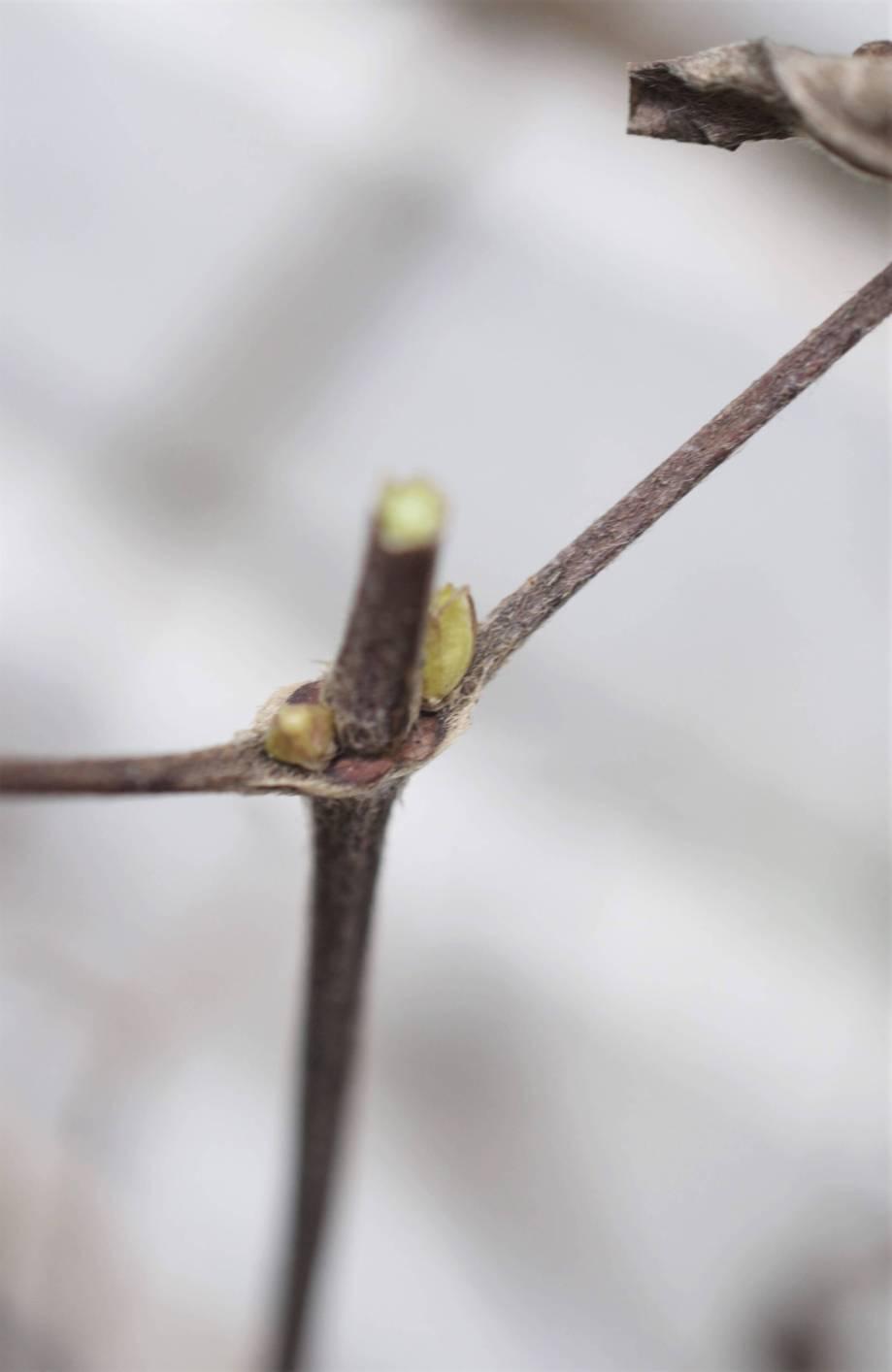 snyggt snitt nära bladknopparna