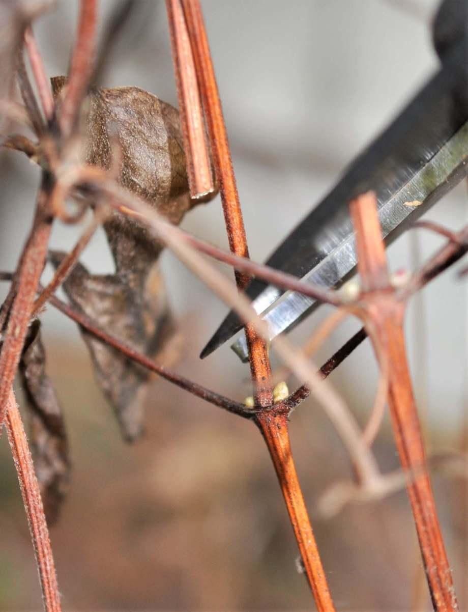 sekatör klipper av klematis precis ovanför två stora bladknoppar