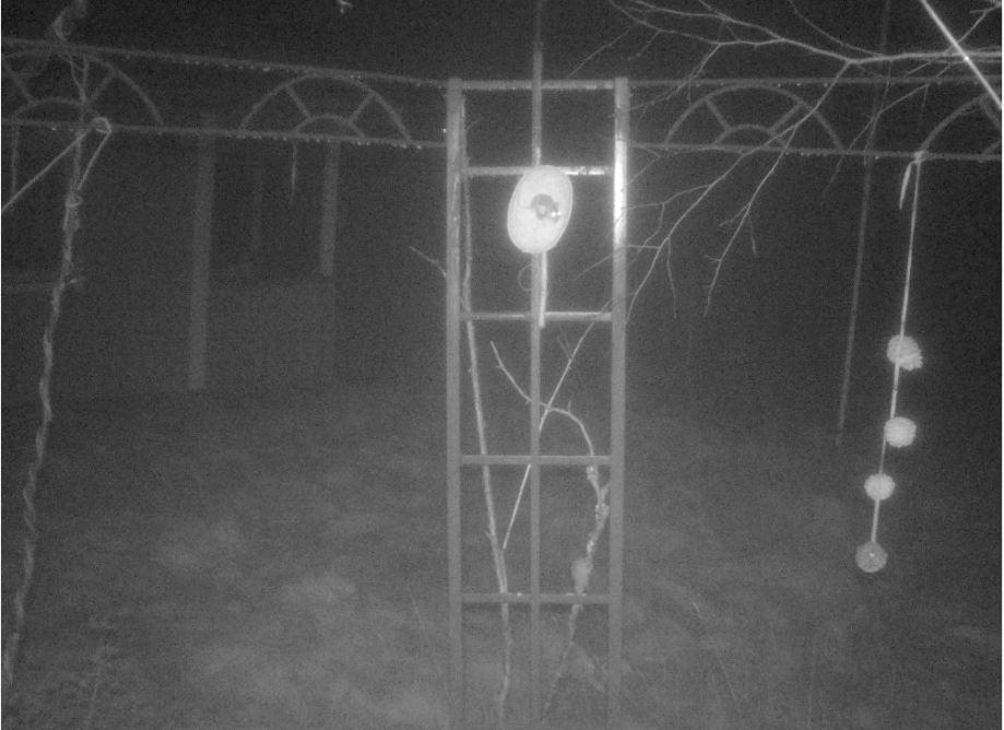 nattbild på möss, en sitter i fågelmaten och den andra klättrar uppåt på en pinne för att komma dit