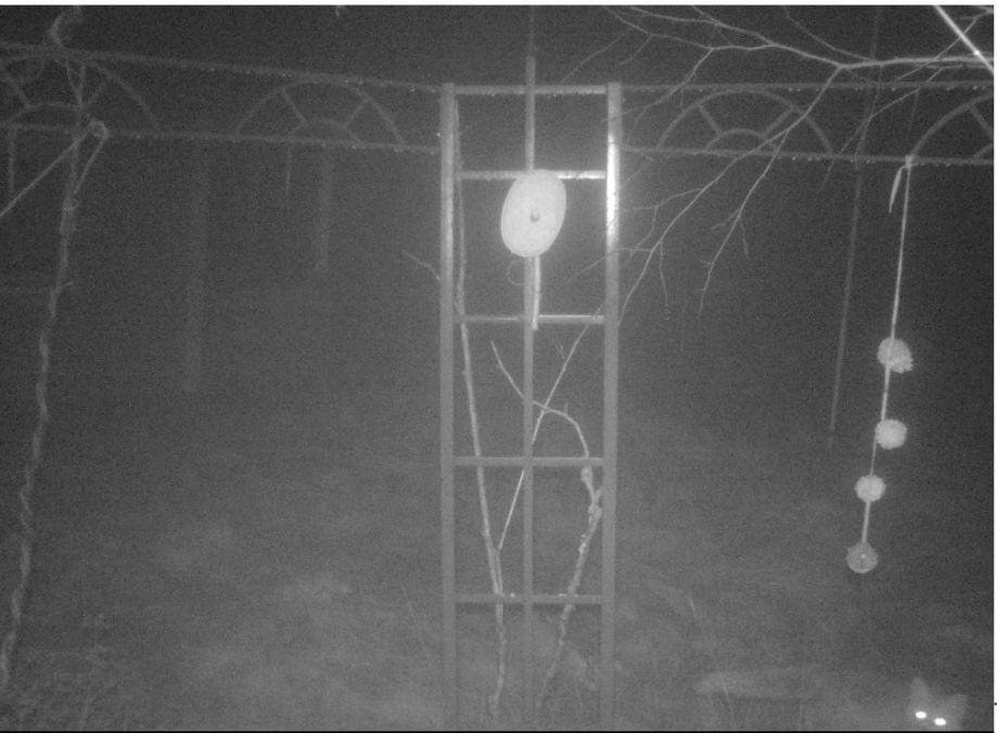 räv passerar under fågelmaten på natten. tittar mot kameran.