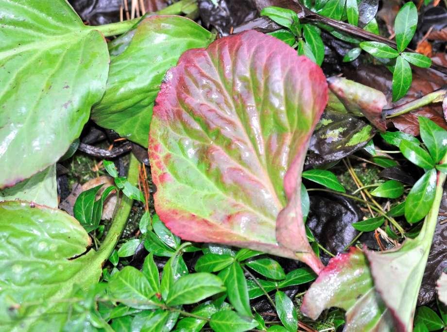 bergeniablad med röda partier längs kanten och nerverna
