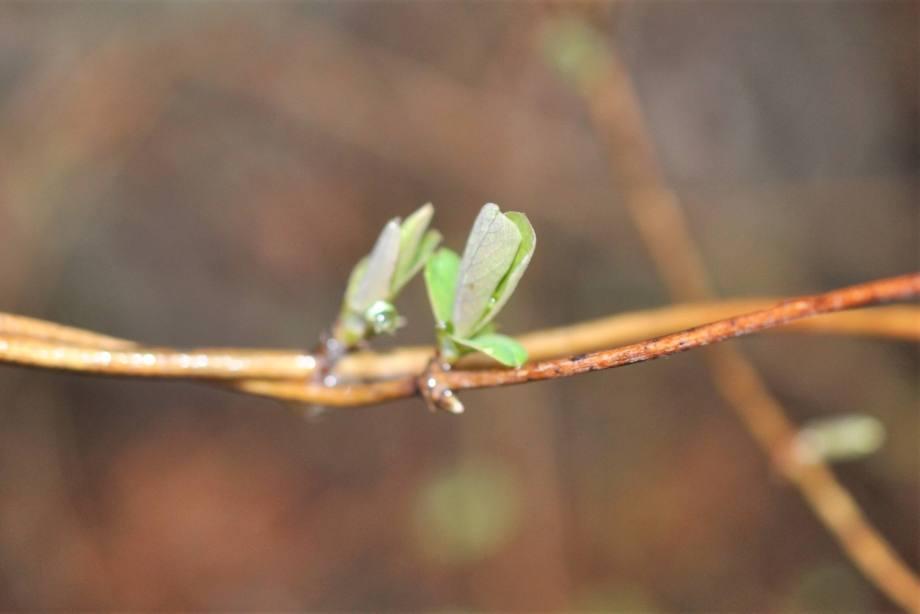 närbild på två ihoptvinnade kaprifolgrenar med två små blad