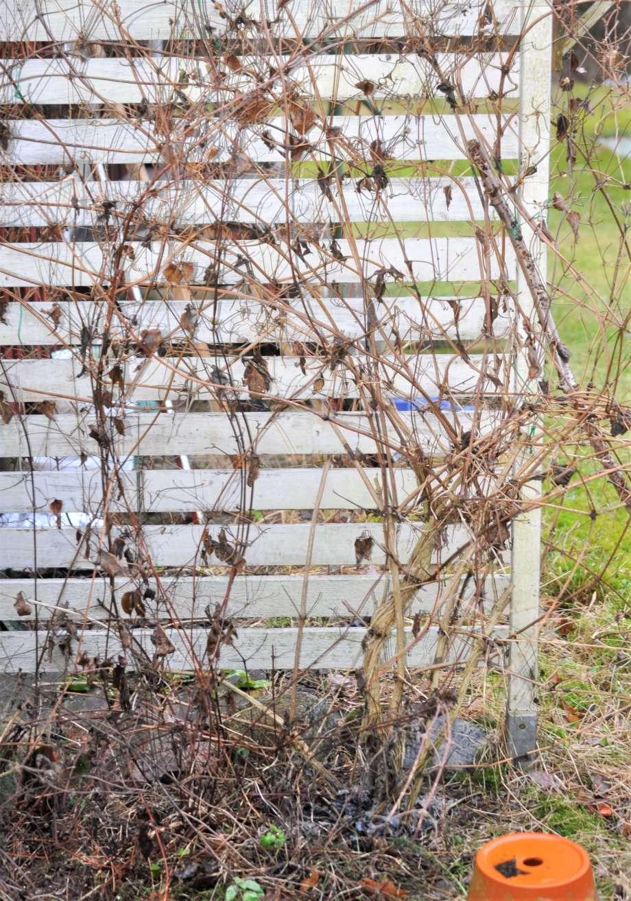 vinterkal och risig klematis växer mot vit vägg