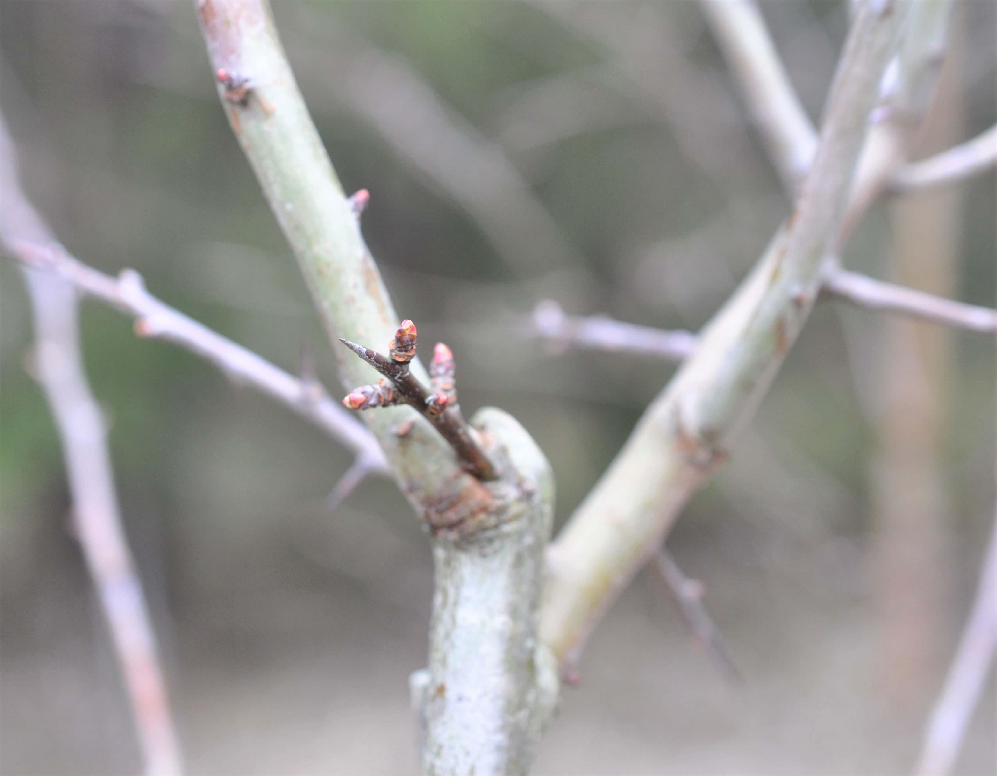 bladknoppar på kal hagtornskvist