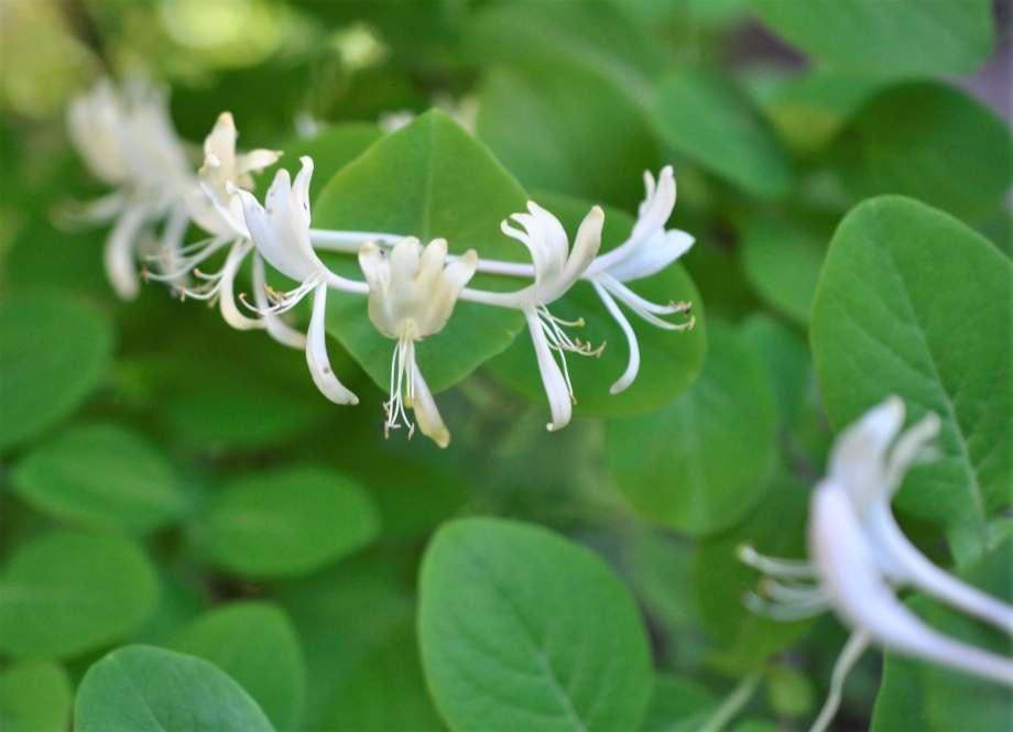 blommande vildkaprifol