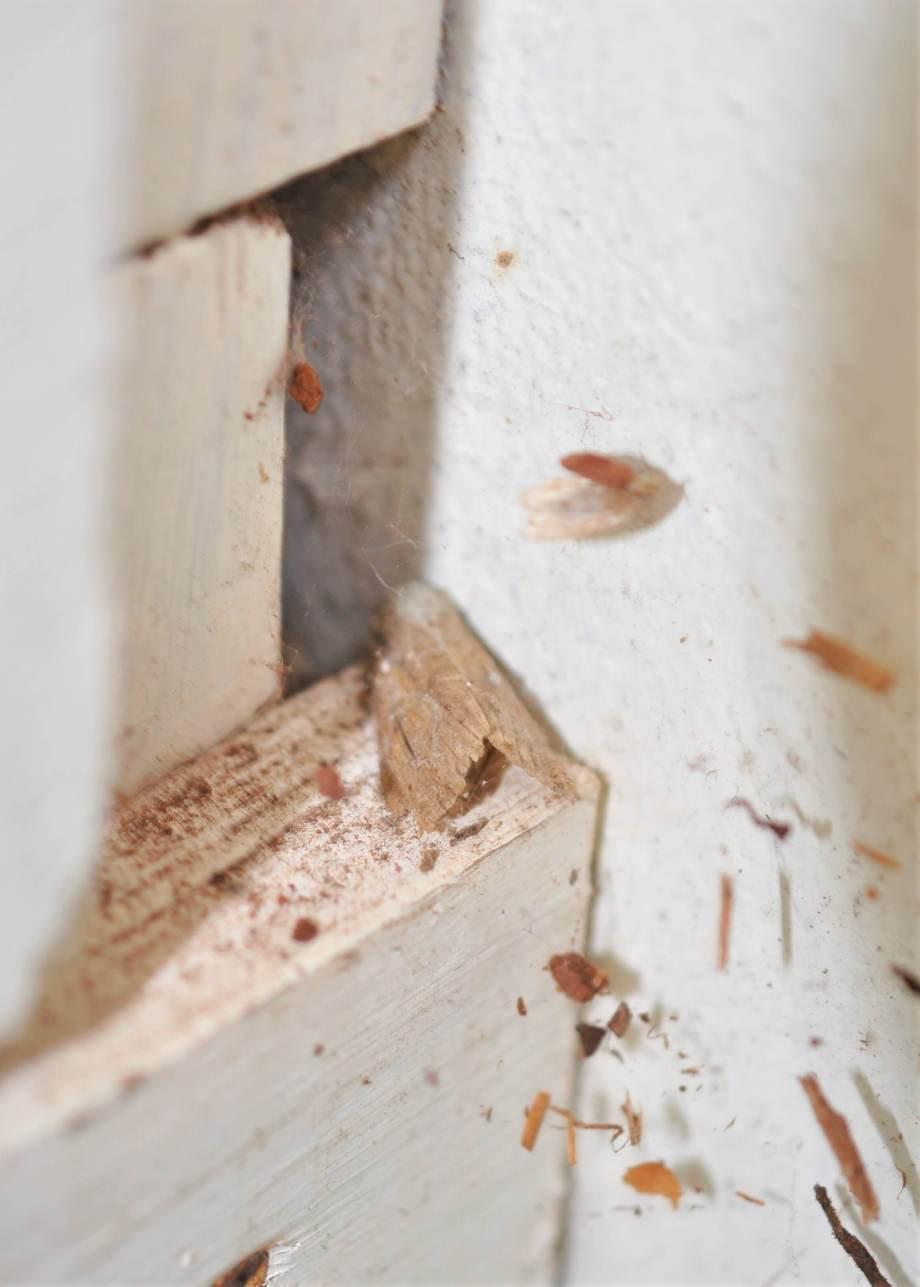 halvstor nougatbrun och grå nattfjäril sitter i dvala inomhus på en vit träslå
