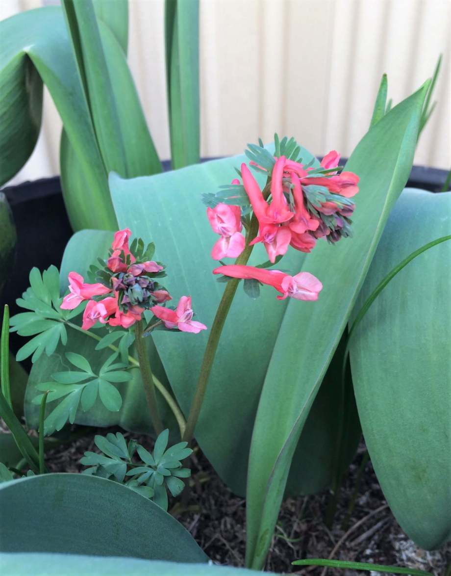 närbild på blommande drakulanunneört. blommorna är röda med rosa läppar.