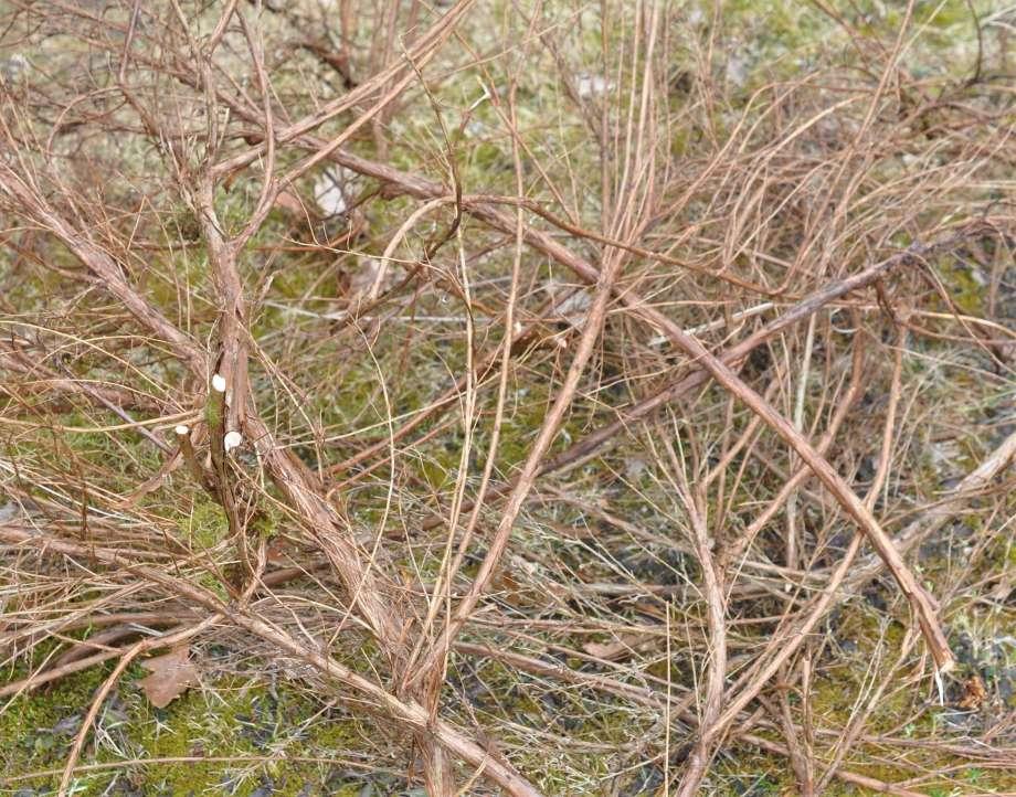 avklippta grenar av ölandstok utlagda på marken