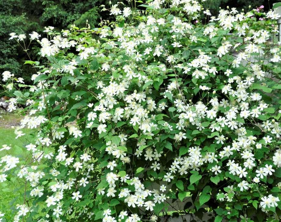 """en spalje täckt av vita blommor, klematis """"summer snow"""""""