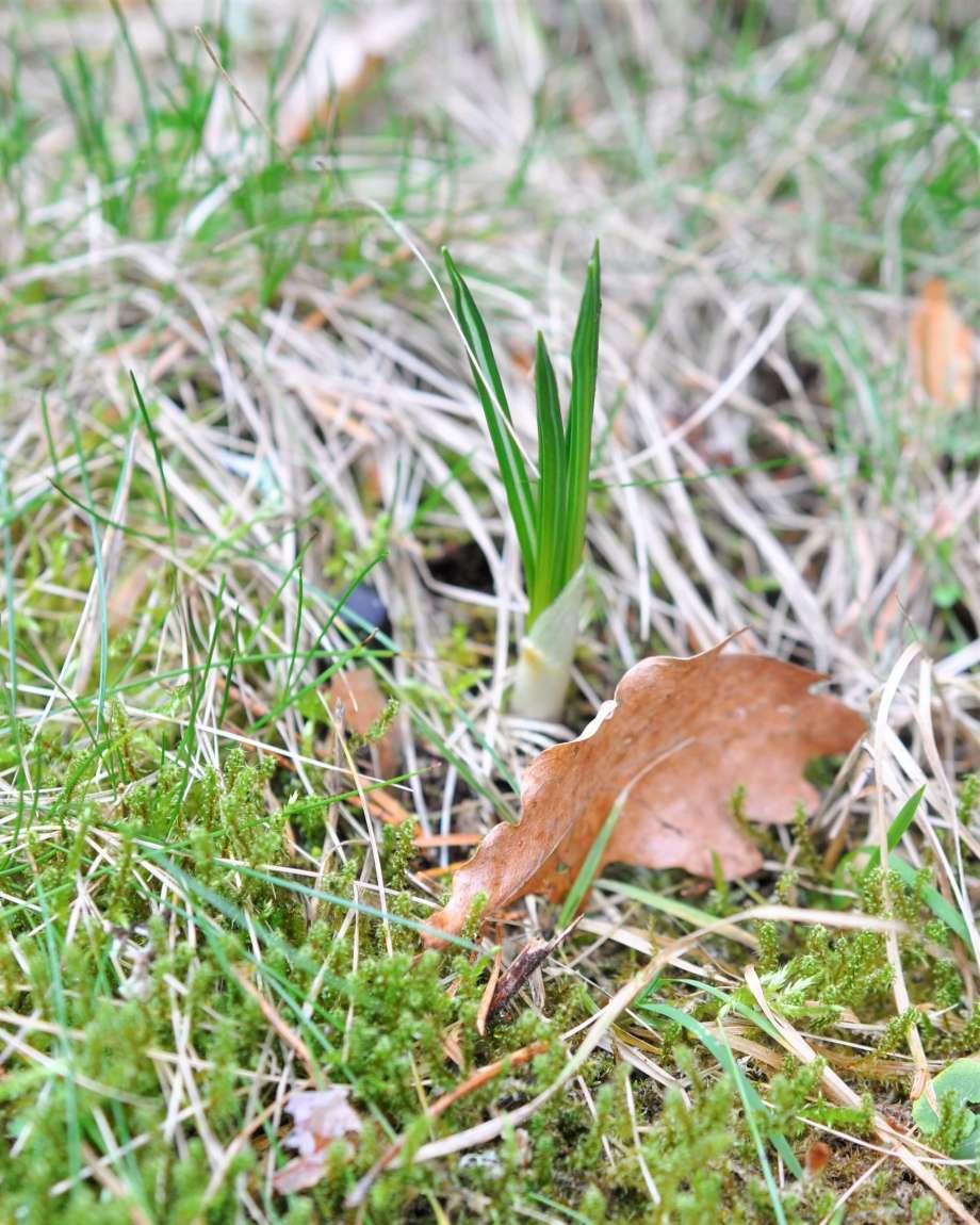 krokusblad sticker upp ur torrt fjolårgsäs