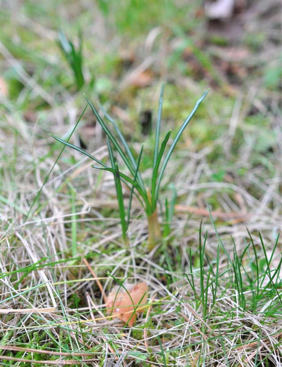 krokusblad sticker upp ur fjolårsgräset i gräsmattan