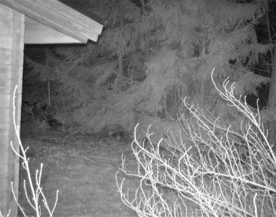 nattbild på en mård ovanpå trädstockar