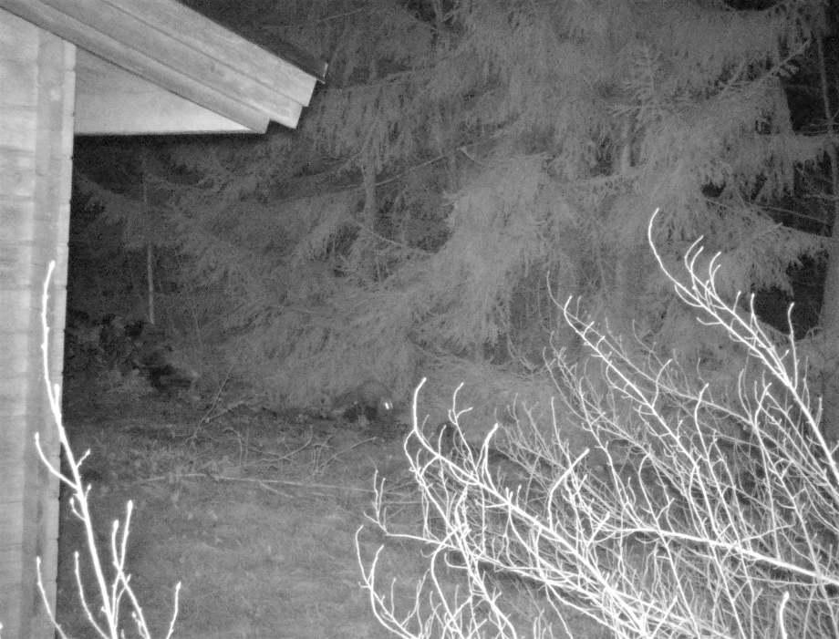 nattbild på en mård ovanpå trädstockar den tittar upp och ögonen blänker