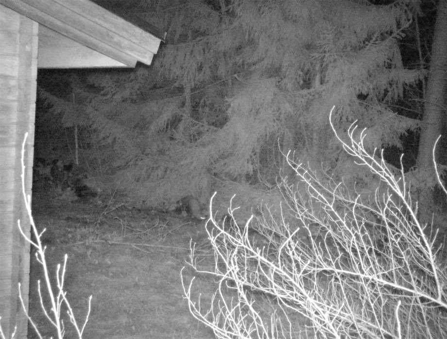 nattbild på en mård som är på väg ner från trästockarna