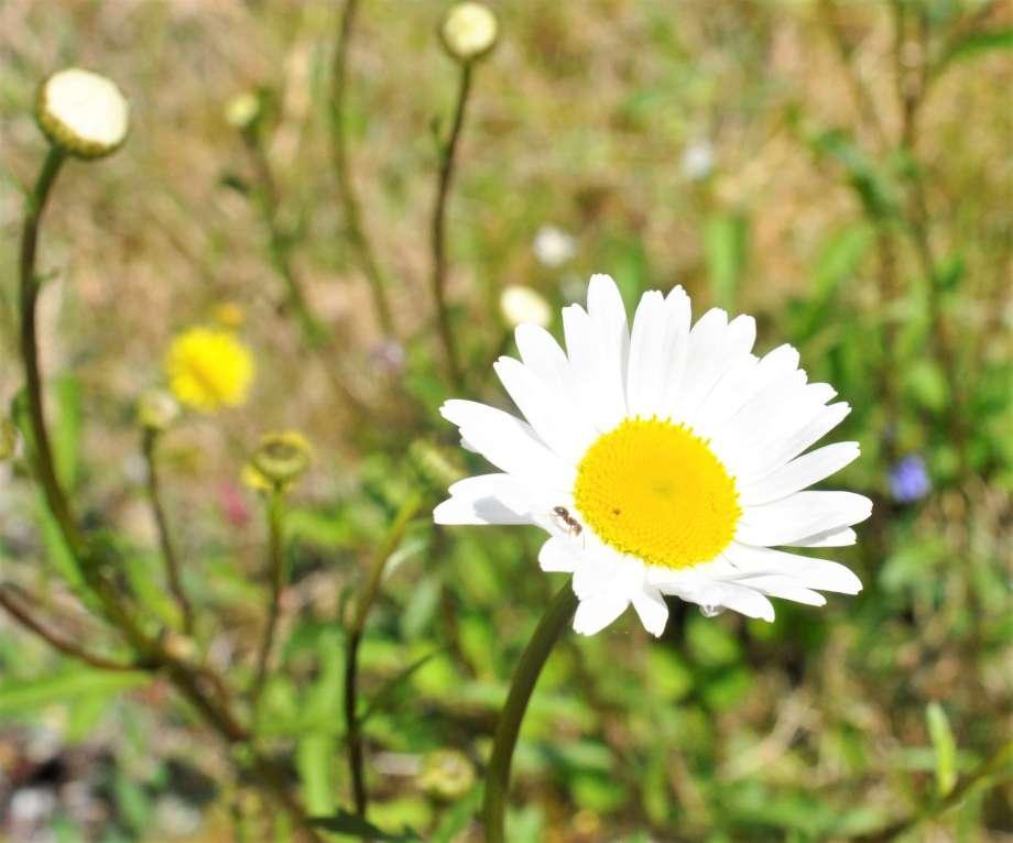 blommande prästkrage med liten myra på kronbladen