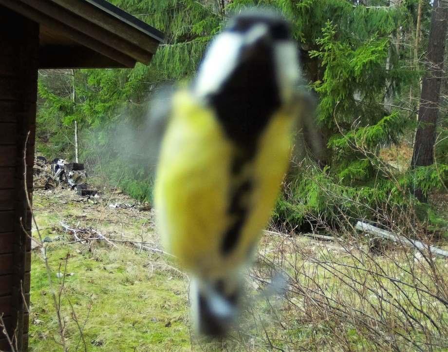 suddig närbild på talgoxe som flyger precis framför viltkameran och tittar in i linsen.