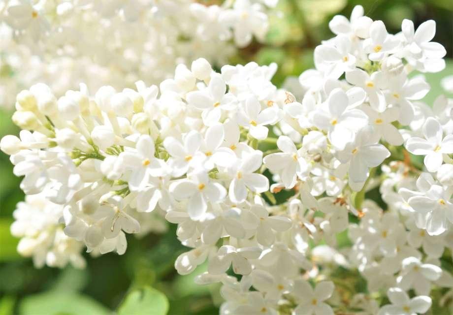 blomsterklase vit bondsyren
