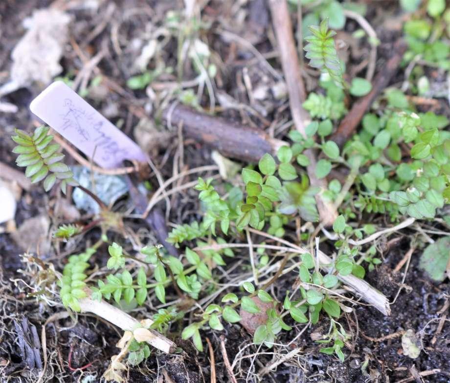 små blågullsblad spirar i rabatten, bredvid en ljust lila namnetikett