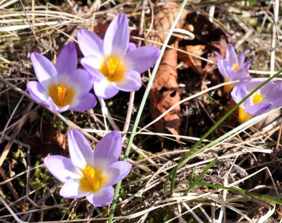 blommande grekiska krokusar i fjolårsgräs