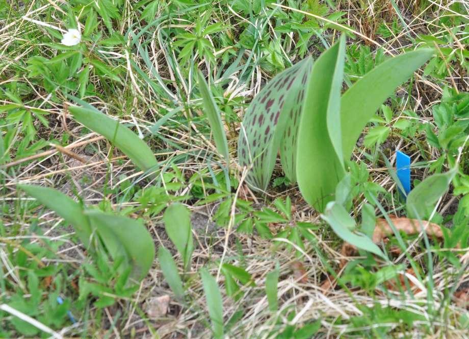 tulpanblad i fjolårsgräs. vid ett av bladen sticker en blå växtetikett upp ur marken