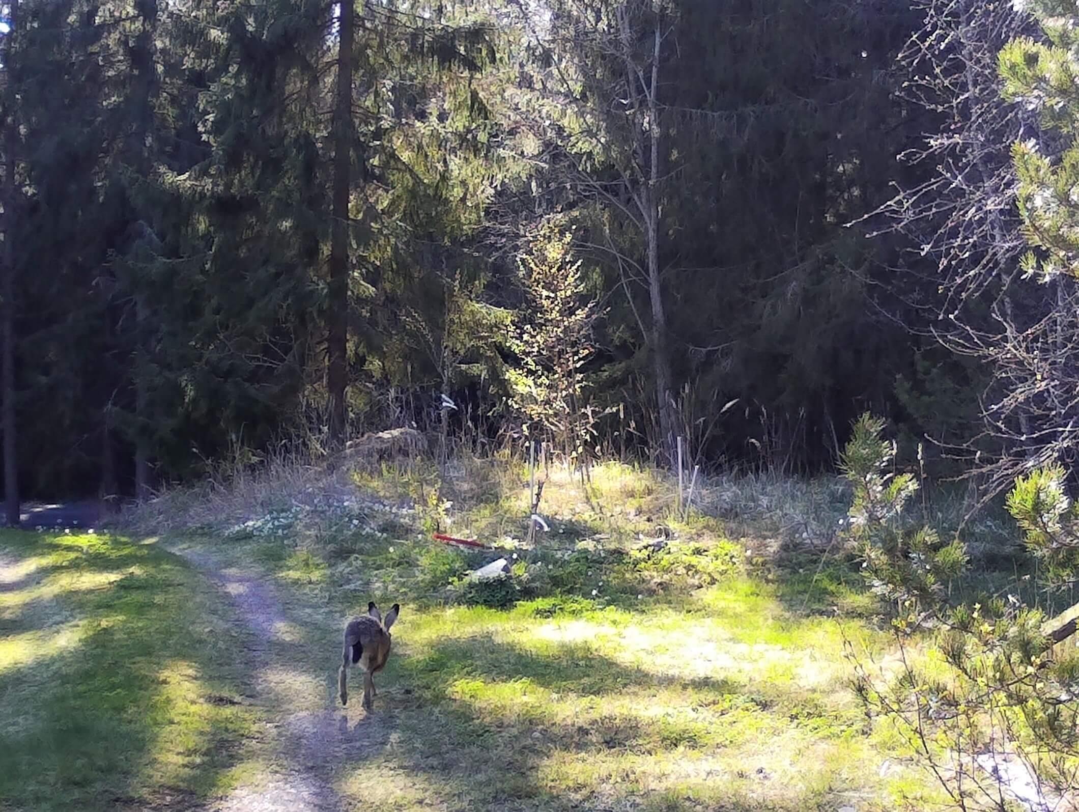 haren sedd snett bakifrån, hoppar över vägen med siktet inställt mot skogsbrynet