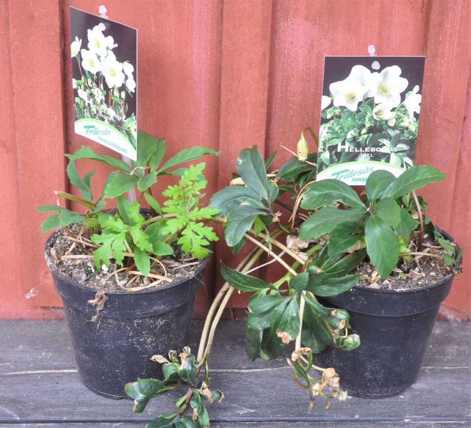 två krukor med julrosor (rätt slitna, bara blad) mot en röd trävägg. etiketterna visar att de kommer att få vita blommor