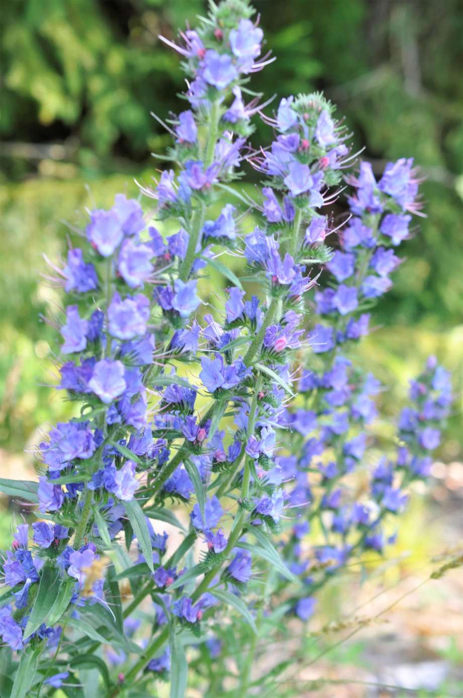 blåeldsblommor, fem blomställningar.