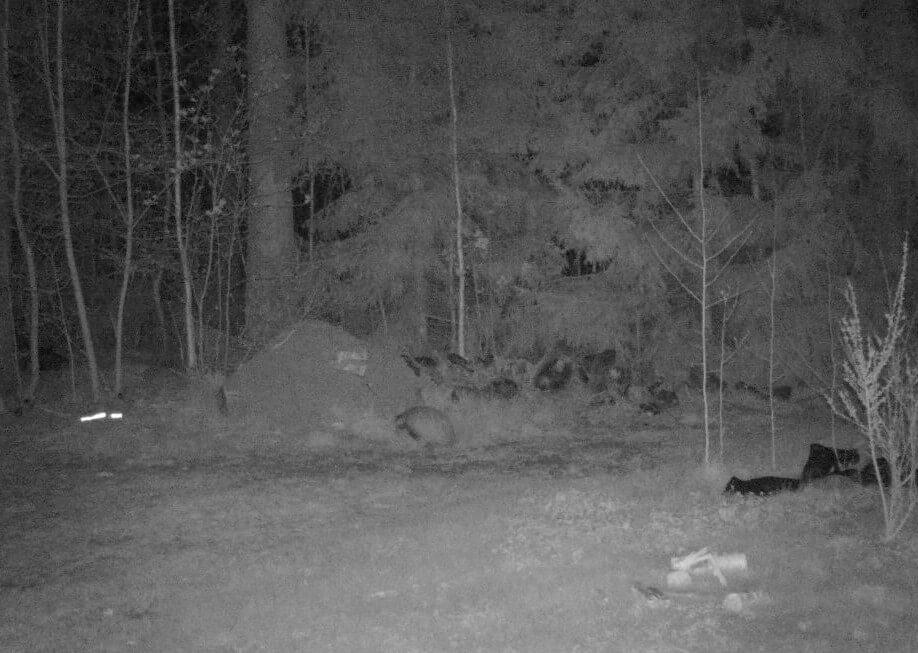 nattbild på grävling som sitter hukad framför myrstack och äter