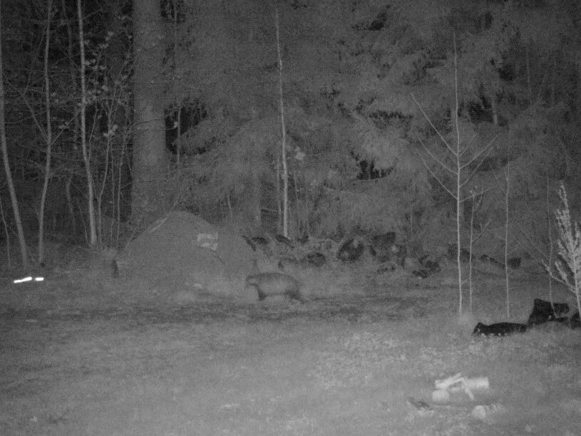 nattbild på grävling som står framför myrstack