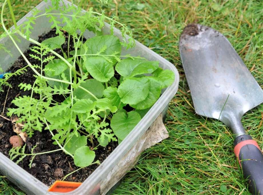 plastlåda med honungsfacelia och små gullviveplantor står på kort gräs, bredvid ligger en planteringsspade med lite jord på bladet