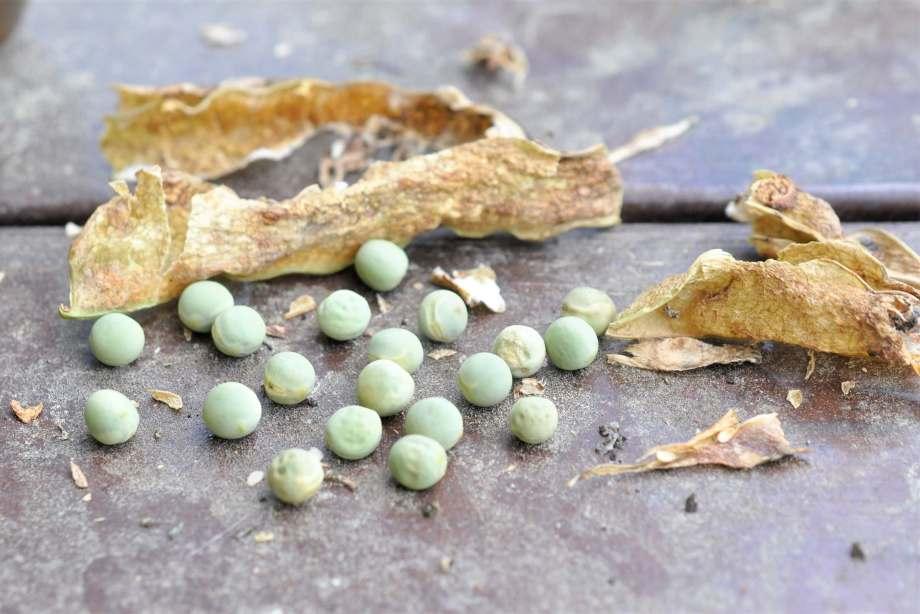 på ett träbord ligger gröna, torra ärtor. bredvid dem finns de bruna resterna av deras gamla ärtskidor.