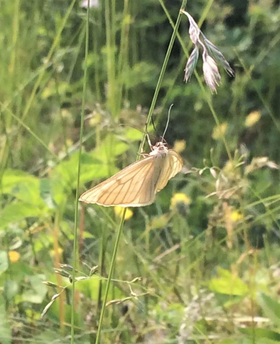 ljusbeige fjäril hänger för glatta livet i ett grässtrå
