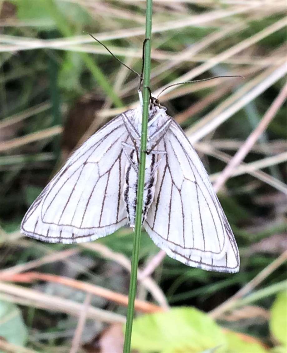 svartribbad vitvingemätare sedd underifrån. vacker vit mätare med tunna svarta ådror i vingarna och svarta streck längs den vita, luddiga bakkroppen.