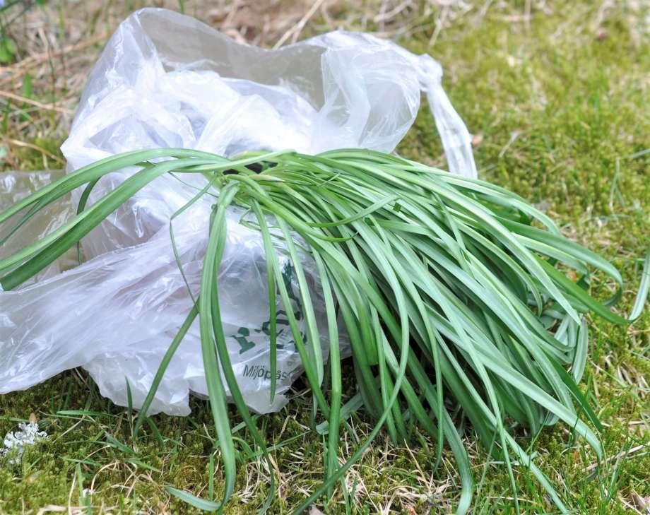 en tuva av gröna snödroppsblad väller ut över kanten på en tunn, genomskinlig plastpåse som står på gräsmattan