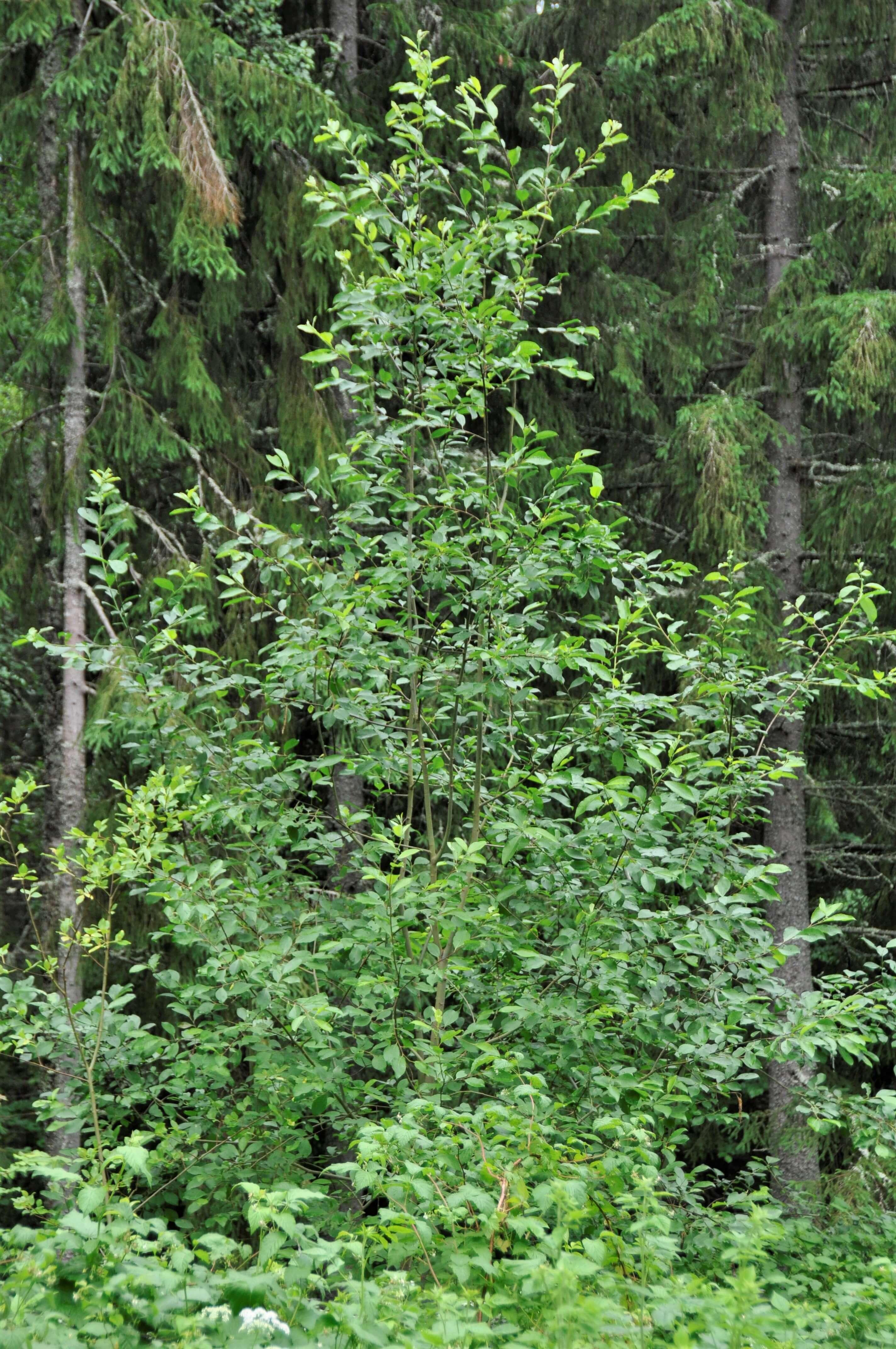 spretigt ungt sälgträd