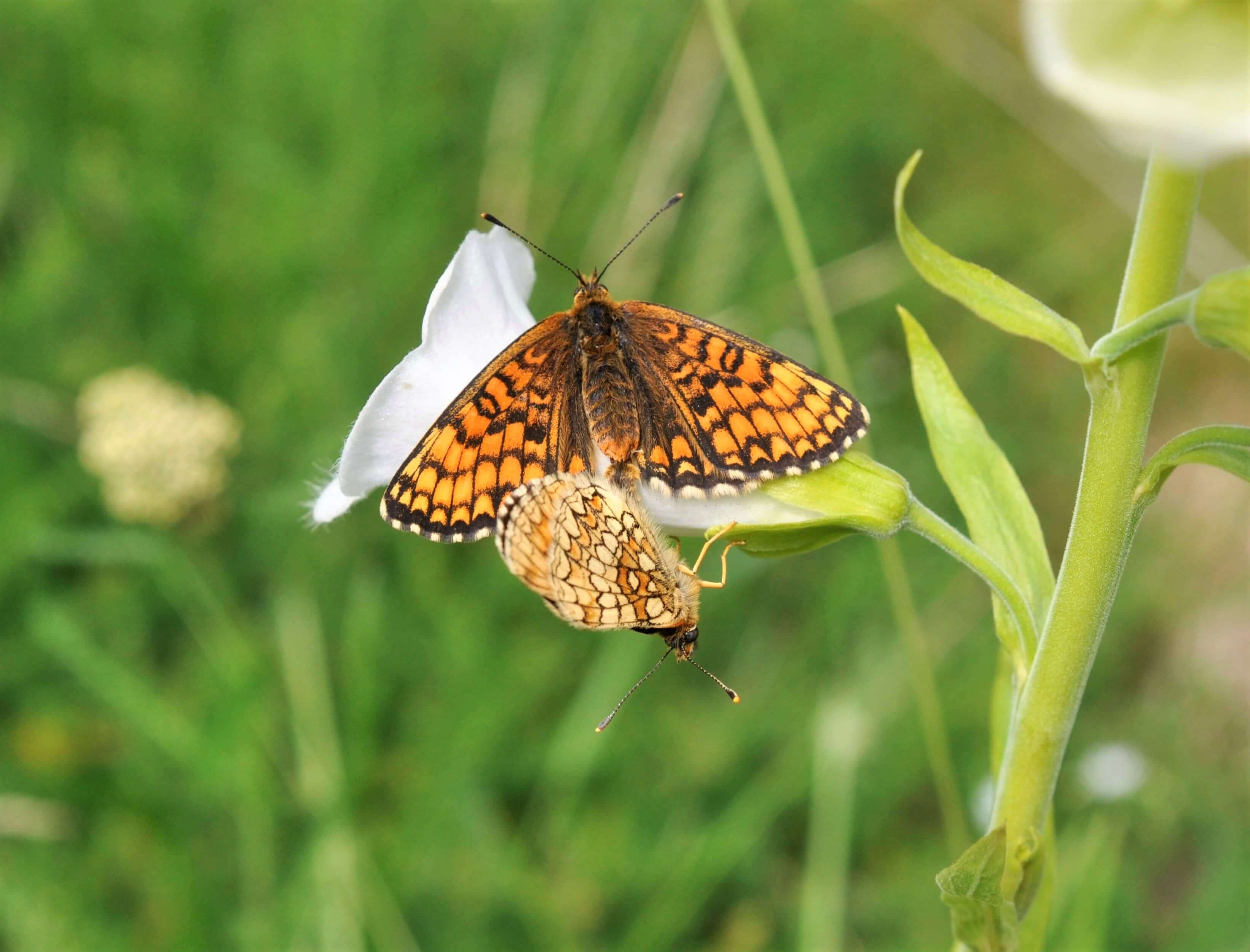 två skogsnätfjärilar parar sig sittandes på en vit fingerborgsblomma. ena fjärilen har utslagna, bakställda, vingar