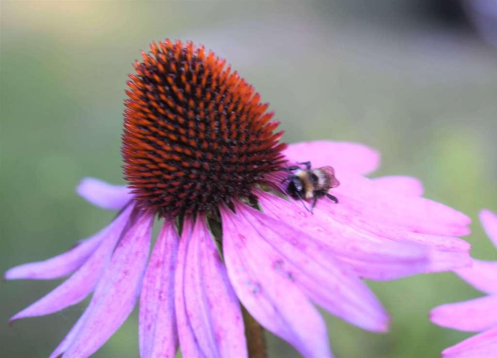 en liten humla sitter på kronbladen till en röd solhatt. blomman höjer sig som en kulle över humlan.