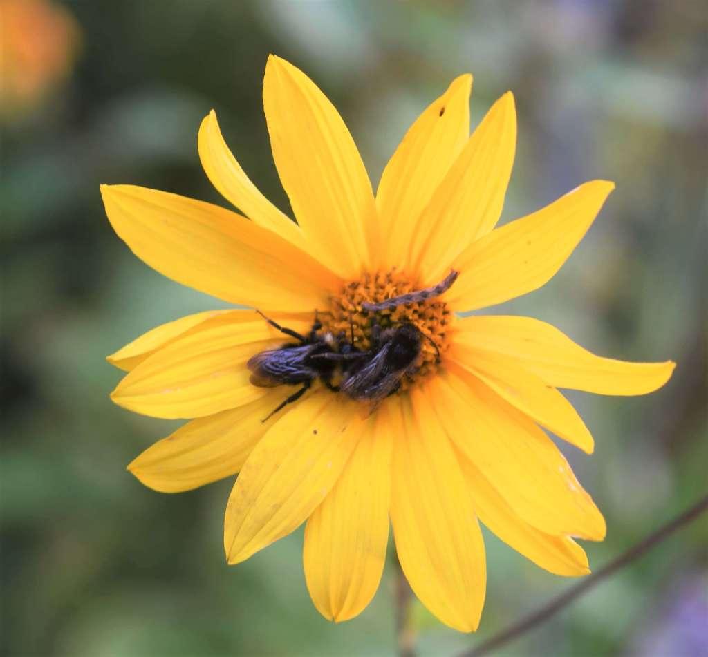 två humlor och en mätarlarv trängs på en gul höstrudbeckia
