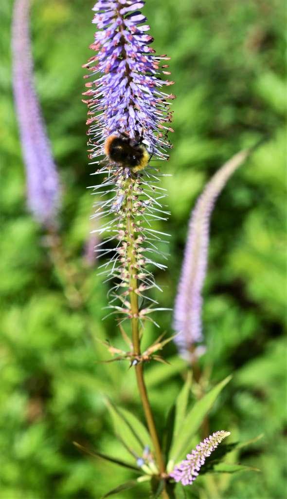 kransveronikan blommar med fyra ljuslila blomsterax. På det största blomsteraxet sitter en ängshumla som är fullt upptagen med att samla in nektar. Nedersta delen av blomsteraxet är redan överblommat.