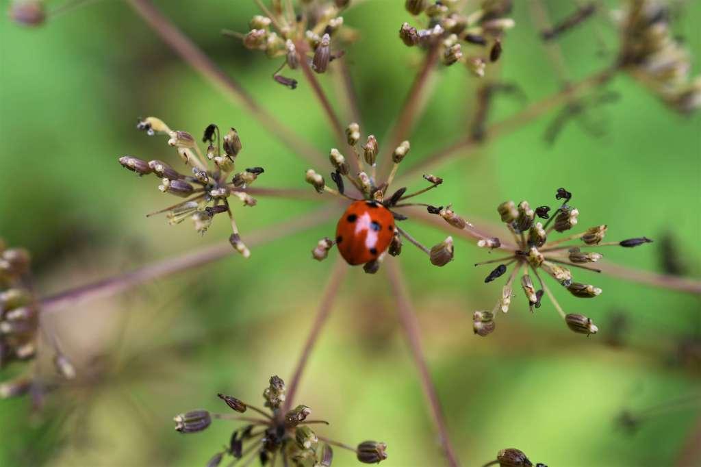 en sexprickig röd nyckelpiga sitter på den mittersta av kirskålens torra fröställningar.
